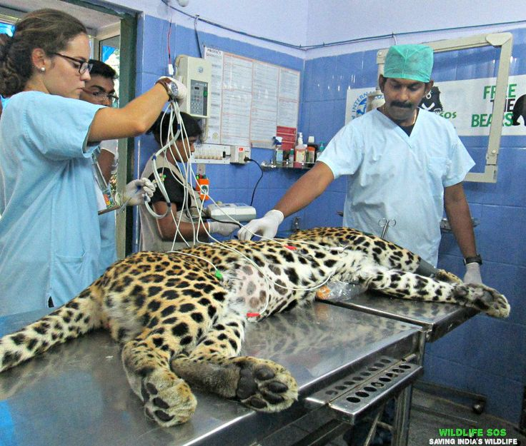 #WildlifeSOS veterinarians recently treated a #Leopard from the Bannerghatta Biological Park. For more information and pictures, follow the link; http://wildlifesos.org/blog/leopard-from-the-bannerghatta-biological-park-treated-by-the-wsos-veterinarians/