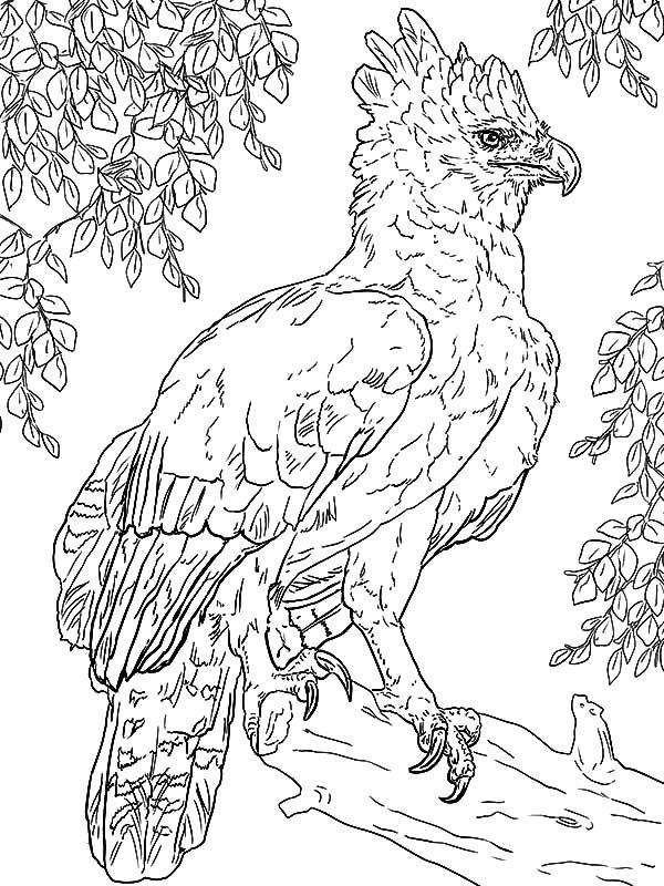 Coloring Eagle Harpy Pages 2020 Check More At Http Coloring