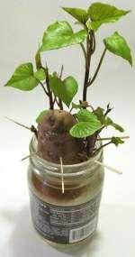 Grow a sweet potato vine.: Sweet Potato Vines, Sweet Potatoes Vines, Avocado Plant, Houses Plants, Avocado Trees, Potatoes Plants, Kitchens Scrap, Growing Sweet, Indoor Plants