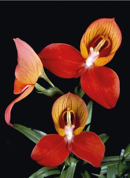 Disa uniflora -- Andrew McRobb -- Kew Gardens Botanical Prints