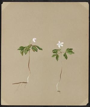 From the collection at Andersen Horticultural Library. Emma Roberts (1859-1948), a watercolorist from Minneapolis, founded the Handicraft Guild, and was supervisor of drawing for Minneapolis Public Schools. Emma painted Anemone nemerosa (Wood Anemone) in Minneapolis. It is undated.