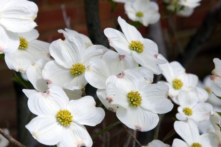 日本では「アメリカヤマボウシ」とも呼ばれる「ハナミズキ」。暖かい春になると、白や赤のきれいな花を咲かせ、秋には赤い実と紅葉で色鮮やかな姿を一年中見せてくれます。今回はハナミズキの育て方について、苗の植え方、剪定方法や時期などをご紹介します。  ハナミズキの苗木の植え方と植え付け時期 ハナミズキは日