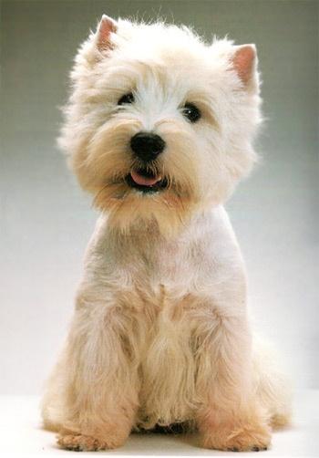 Resultados de la Búsqueda de imágenes de Google de http://www.dondevenden.org/fotos/dondevenden_fotos-de-perros-de-raza-westy-05z.jpg