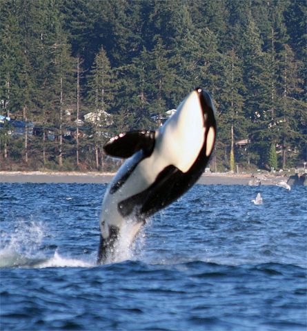 I want to see the whales off the shores of Whidbey Island