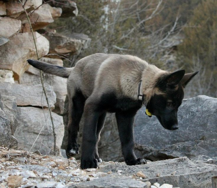 Adorable Belgian Malinois mix puppy... coat color darkened up later on to mostly dark sable, but such a cutie!