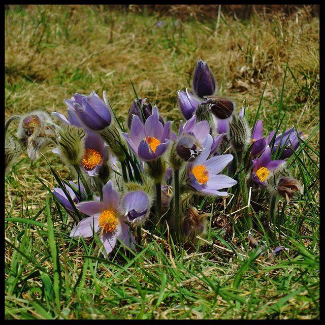 It's been so warm these days! At this rate the spring will be over very soon!  . . #pasque #pulsatilla #koniklec #naturereserve #brno #czech #czechrepublic #igerscz #springmood #springfeeling #springishere #morava #czech_world #czechphotography #czechnature #springflowers #springblooms #hikingadventures #hikingtrails #hikingculture #hikinglife #hikingtrip #springhike #cityhike #citynature #outdoorslife #naturelovers #naturepics #gaytravel #gaylife
