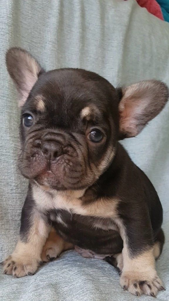 Image Result For Chocolate And Tan French Bulldog Puppies French