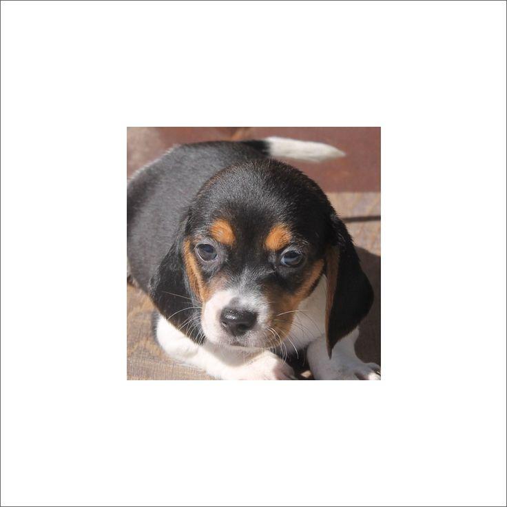 Beagle puppy for sale in TUCSON, AZ. ADN-51023 on PuppyFinder.com Gender: Female. Age: 9 Weeks Old