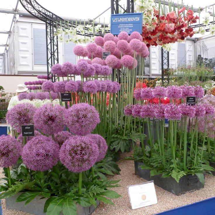 RHS Chelsea Flower Show 2016 London #alliums #perennials #purple #pink #flowers