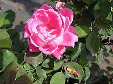 Shrub ROSA 'Knockout® Double Pink'