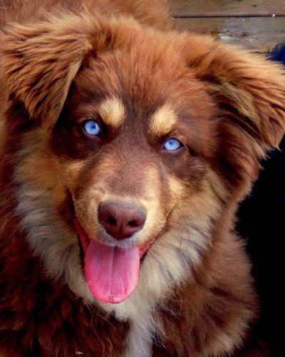 Australian Shepherd Red Tri BET (Blue Eyed Tri)