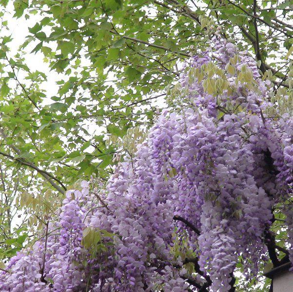17 meilleures id es propos de glycine sur pinterest arbre fleurs glycines et arbres en fleurs - Taille de la glycine ...