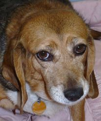 SOMEONE PLEASE SAVE THIS SENIOR - Nova is an adoptable Beagle Dog in Independence, MO. Nova is a sweet, sweet lady who wants a home where she will be loved and can enjoy life. She likes to take leisurely walks with plenty of stops to ...