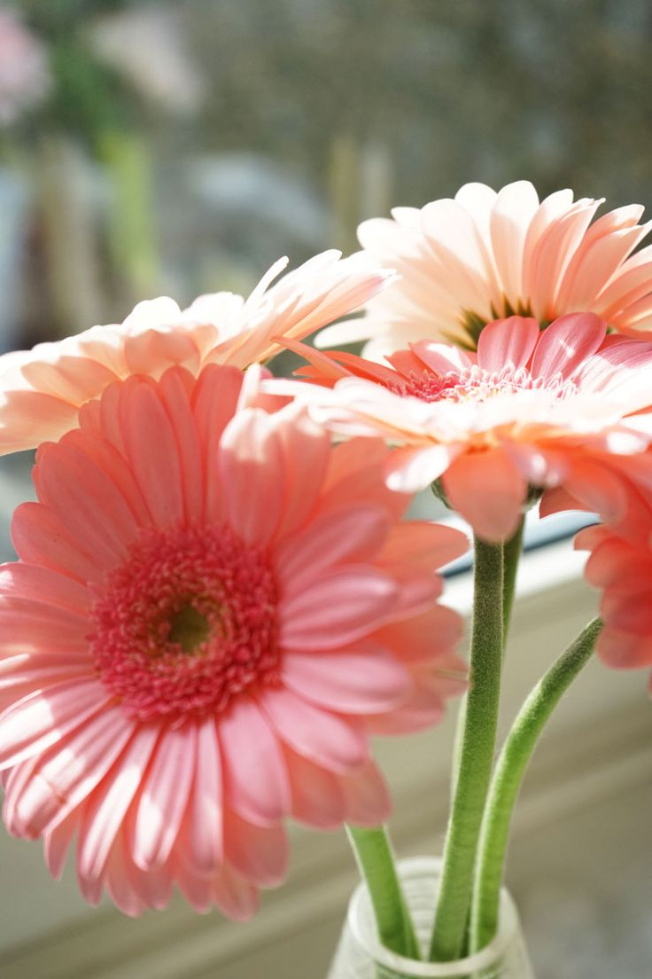 Pink Gerbera. spring is around the corner