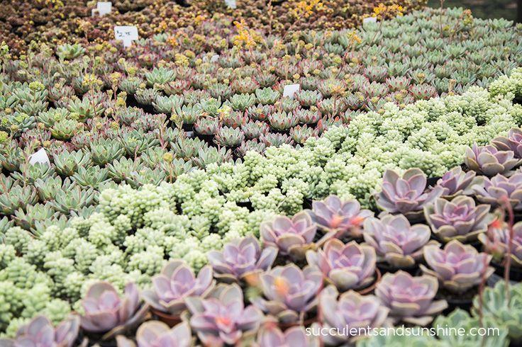 17 best ideas about succulents for sale on pinterest vertical gardens vertical garden plants. Black Bedroom Furniture Sets. Home Design Ideas
