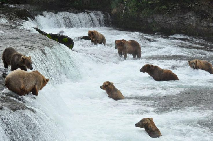 live cams player brown bear salmon brooks falls