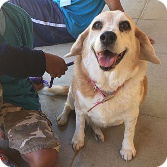 Acton, CA - Beagle. Meet DayZee, a dog for adoption. http://www.adoptapet.com/pet/16513538-acton-california-beagle