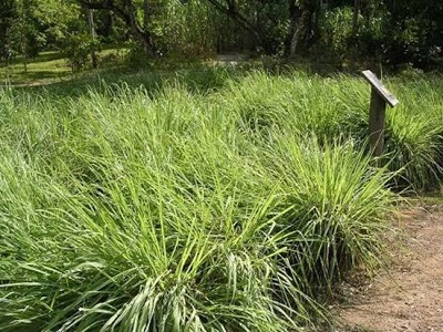 Growing Lemongrass | Tips to Grow This Amazing Herb... mosquitoes hate it...