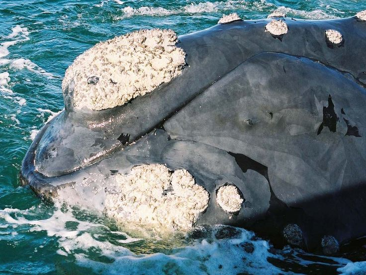 When, why and what are the southern right whales up to? http://www.southernrightcharters.co.za/blog/
