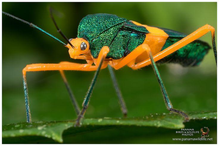 Leaf-footed Bug / Chinche | by Panama Birds & Wildlife Photos