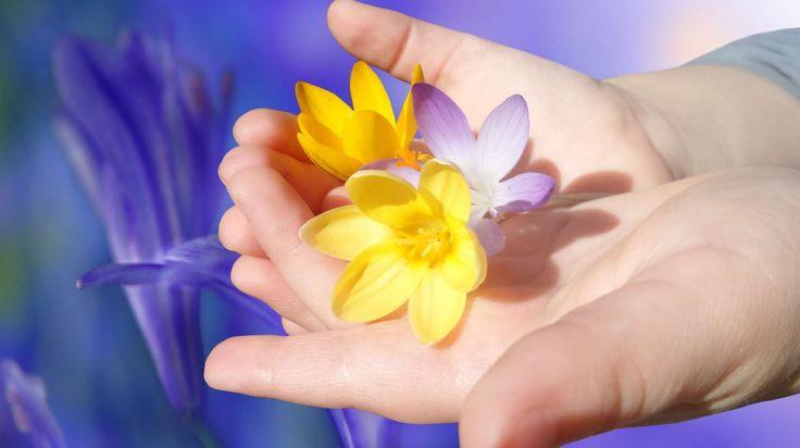 #beautiful #bloom #child #childs hand #close #color #crocus #flower #flowers #frhlingsanfang #hand #petals #purple #violet #yellow