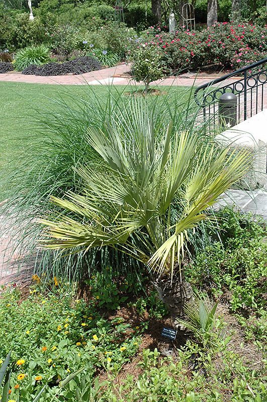 Mexican Fan Palm (Washingtonia robusta) at Calloway's Nursery