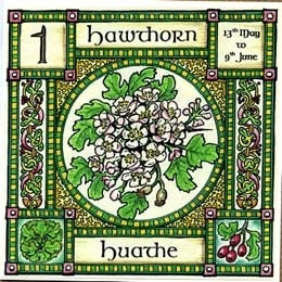 """Neo-Druidism - Hawthorn, Ogham name Huathe, rules 13th May to 9th June. Mayflowers, the blossom of the Hawthorn, are associated with purity and innocence, and are used to crown the Mayqueen, but the """"Faerie thorn"""" is also the entrance to the Otherworld........... so beware!"""
