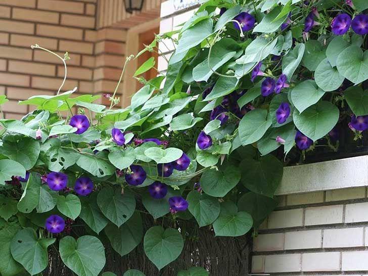 17 best images about plantas trepadoras on pinterest - Plantas perennes exterior ...