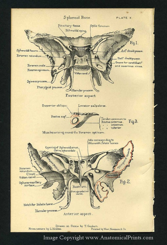 Sphenoid bone of the skull.