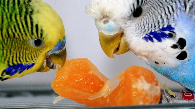 budgies love oranges