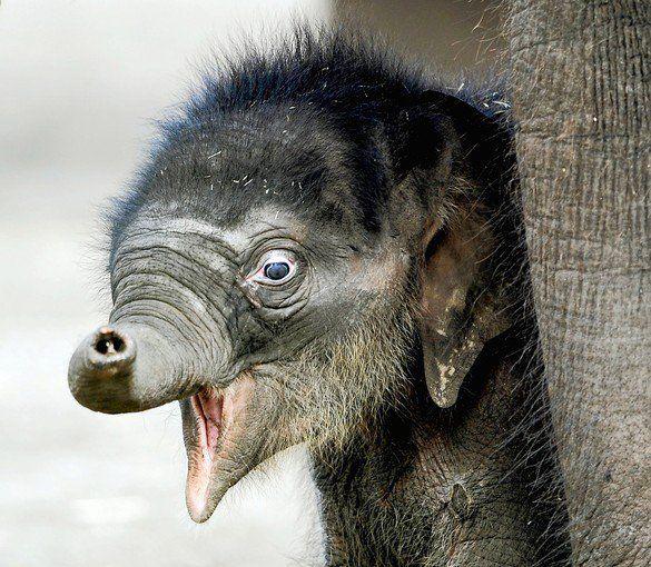 Very new baby elephant...