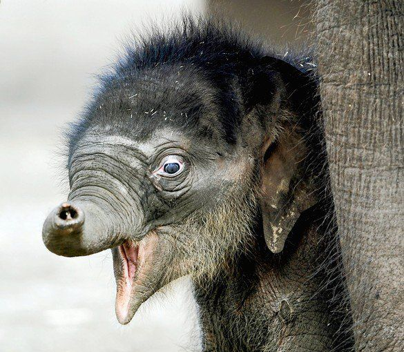 elephant calf Pathi Harn after being pronounced dead during labour and which caused a nationwide sensation, in Sydney.