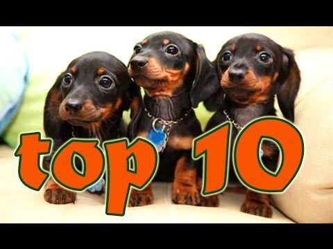 Perros Salchica TOP 10 Los videos más chistosos de perros salchicha - YouTube