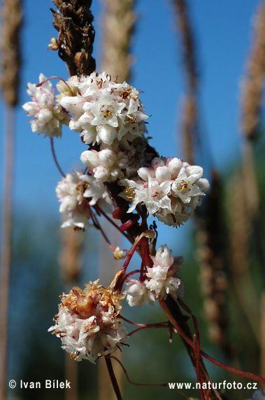 Kokotice povázka (Cuscuta epithymum)