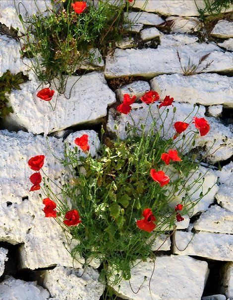 Poppies.. Samos Island (Aegean Sea), Greece | by Impesa07