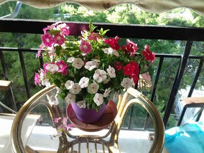 To Πρασινούλι: Δαφνούλα – Βίνκα (Vinca-Catharanthus Roseus)