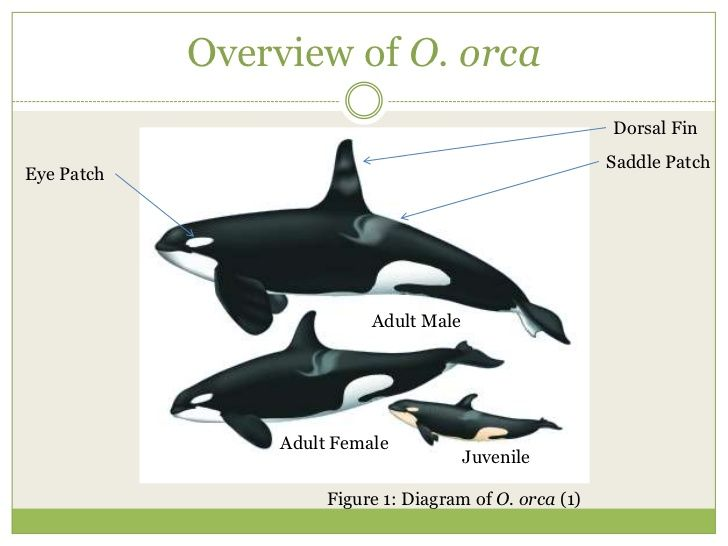 150 Best Orca Whales Images On Pinterest Baleen Whales Collar
