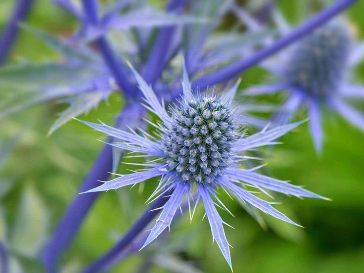 How to grow eryngiums, or sea holly - Saga
