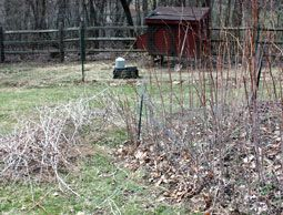 how to prune raspberry canes (in March/April)