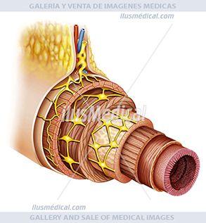 Esquema de las diferentes capas del tubo digestivo. Ilustración esquemática de una parte del ....