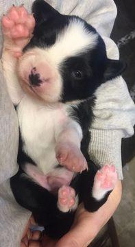 Border-Aussie puppy for sale in DUFUR, OR. ADN-51585 on PuppyFinder.com Gender: Male. Age: 2 Weeks Old