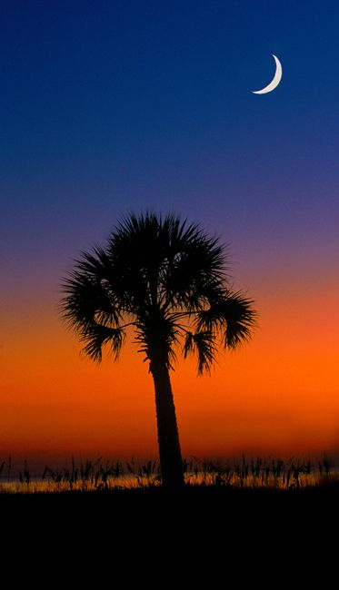SOUTH CAROLINA State Tree - the Sabal Palmetto - soothing sunrise with a crescent moon!