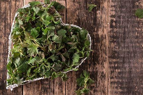 Låt hälsoprofilen Eliq Maranik inspirera dig med en av våra bästa, svenska medicinalväxter – brännässlan!