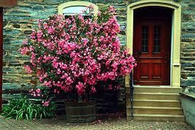 Oleander Plants Are Also Toxic