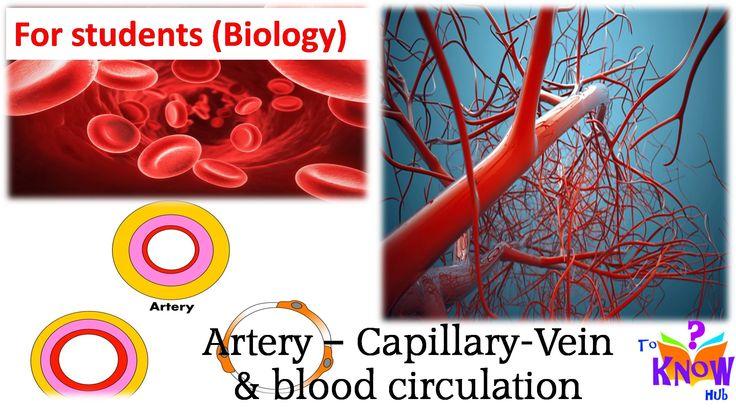 Biology - Artery Capillary Vein & Blood Circulation (simple explanation)