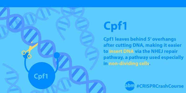 Cpf1 is the latest nuclease to join the CRISPR tool box. Not only is Cpf1 itself a smaller protein, it requires a shorter guide RNA, making it much easier to package into viral vectors such as AAV. Because it cuts so far away from its PAM site, it can undergo many rounds of cutting, allowing for a higher chance for genome editing via the HDR pathway. #CRISPRCrashCourse #CRISPR
