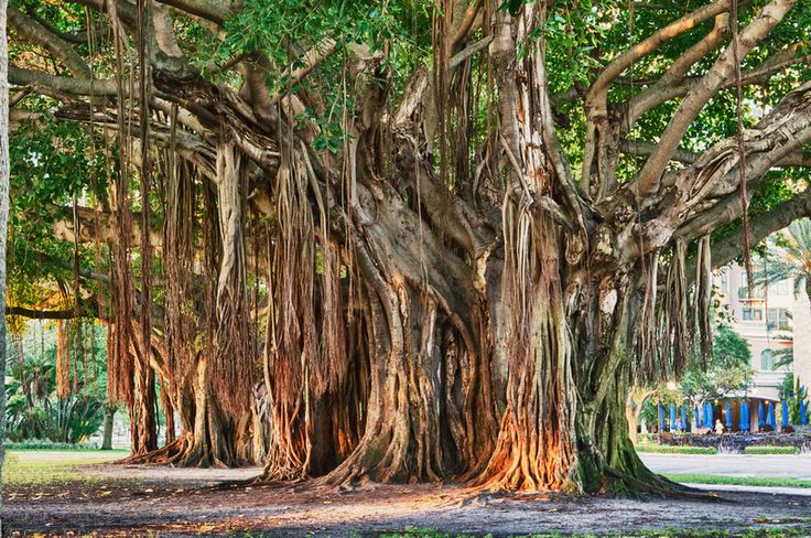 Banyan Tree St. Petersburg Florida