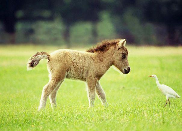 Enternecedores caballos en miniatura o ponis - Saber de