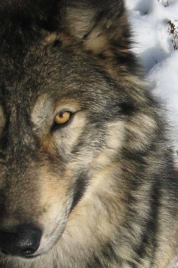 Lobo ojos amarillos media cara
