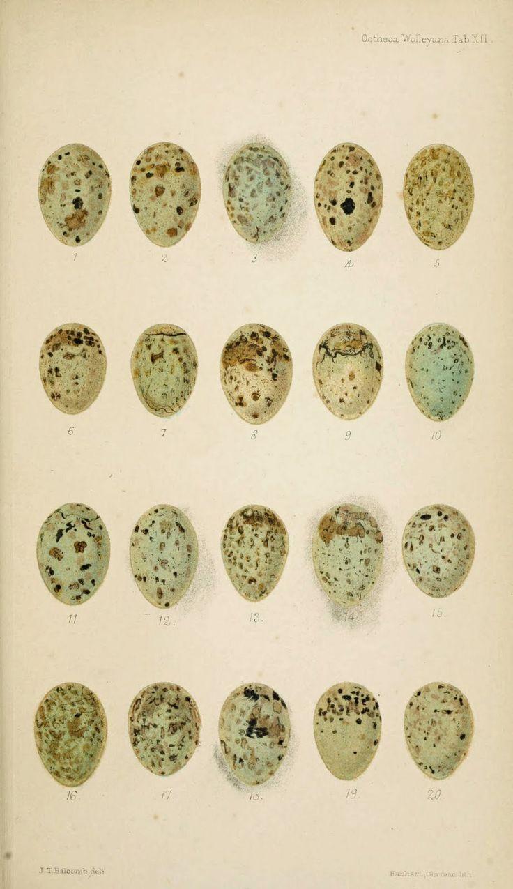 ♕ bird eggs, a beautiful 1864 illustration